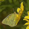 Clouded Sulphur Butterfly Din099 by Gerry Gantt