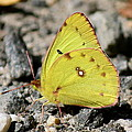 Clouded Sulphur by David Pickett