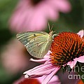 Clouded Sulphur by Living Color Photography Lorraine Lynch