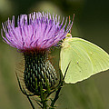 Cloudless Sulfur Butterfly On Bull Thistle Wildflower by Kathy Clark