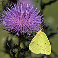 Cloudless Sulphur Butterfly Din159 by Gerry Gantt