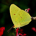 Cloudless Sulphur by Skip Willits