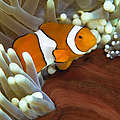 Clown Anemonefish In Anemone, Great by Todd Winner