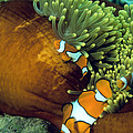 Clown Anemonefish by Peter Scoones