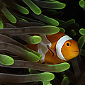 Clownfish In Green Anemone, Indonesia by Todd Winner