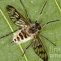Cluster Fly Killed By Parasitic Fungus by Ted Kinsman