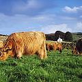 Co Antrim, Ireland Highland Cattle by The Irish Image Collection