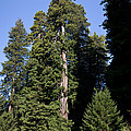Coast Redwood by Gregory G Dimijian MD