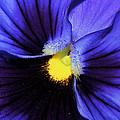 Cobalt Blue Pansy by Phyllis Denton