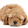 Cockapoo Pup by Mark Taylor