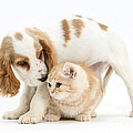 Cocker Spaniel And Kitten by Mark Taylor
