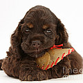 Cocker Spaniel Pup With Chew Treat by Mark Taylor