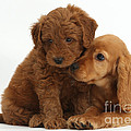 Cocker Spaniel Puppy And Goldendoodle by Mark Taylor