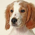Cocker Spaniel Puppy by Retales Botijero