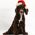 Cocker Spaniel With Santa Hat by Mark Taylor