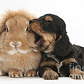 Cockerpoo Pup And Lionhead-lop Rabbit by Mark Taylor