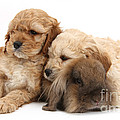 Cockerpoo Puppies And Rabbit by Mark Taylor