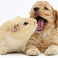 Cockerpoo Puppy And Guinea Pig by Mark Taylor