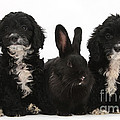 Cockerpoo Pups And Rabbit by Mark Taylor