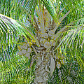 Coconut Palm by David Lee Thompson