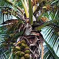 Coconut Palm Inflorescence by Karon Melillo DeVega