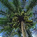 Coconut Palm by Mark Sellers