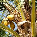 Coconuts 1 by Tony and Kristi Middleton