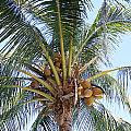 Coconuts by Gord Patterson