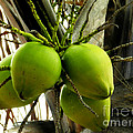Coconuts by Tammy Chesney
