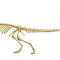 Coelophysis Dinosaur Skeleton, Art by Gary Hincks