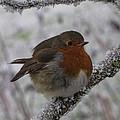 Cold Robin by David Gleeson