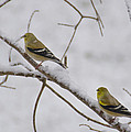 Cold Yellow Finch Walk by LeeAnn McLaneGoetz McLaneGoetzStudioLLCcom