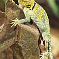 Collared Lizard by John Pitcher