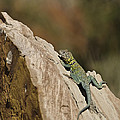 Collared Lizard by Melany Sarafis