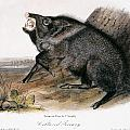Collared Peccary, 1846 by Granger