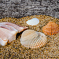 Collection Of Shells by David Hahn