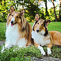 Collie Sisters by Kelley Nelson