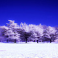 Color Infrared Winter Trees by Angela Rose