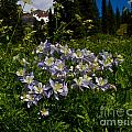 Colorado Blue Columbine At Lake Irwin by Crystal Garner