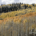 Colorado Gold II by David Waldrop