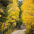 Colorado Rocky Mountain Aspen Road Portrait  by James BO Insogna