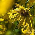 Colorado Sunflowers by Crystal Garner