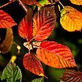Colorful Blackberry Leaves 1 by Douglas Barnett