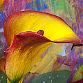 Colorful Calla Lily by Garry Gay