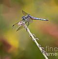 Colorful Dragonfly Dream by Carol Groenen