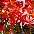 Colorful Fall Tree Red Leaves Art Prints by Baslee Troutman