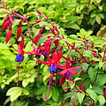 Colorful Fuchsia by Carla Parris