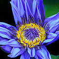 Colorful Lily by Dave Mills