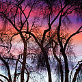 Colorful Silhouetted Trees 9 by James BO  Insogna