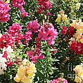 Colorful Snapdragons In San Antonio by Carol Groenen